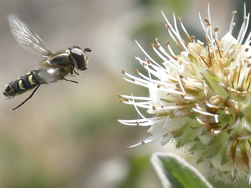 Onh Insects About Flower Flies